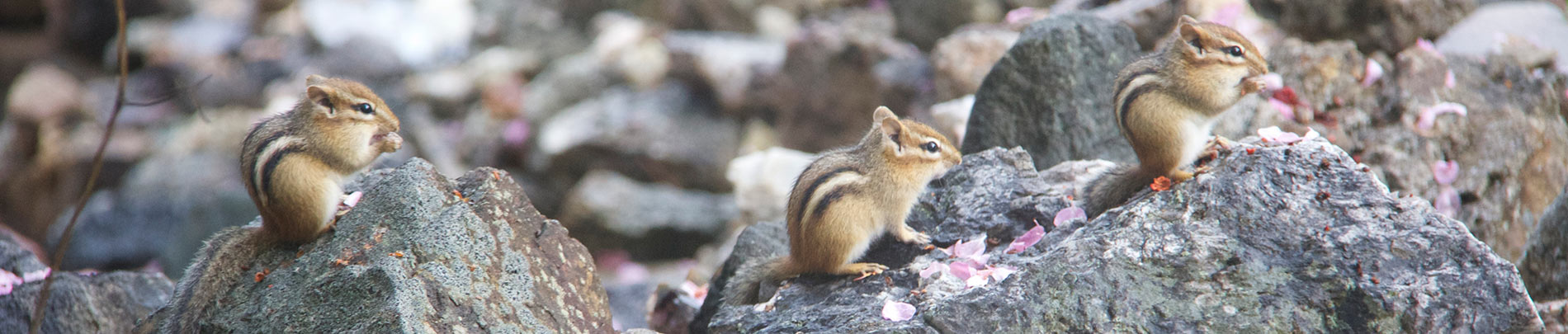 A family of chipmunks sit on some rocks.